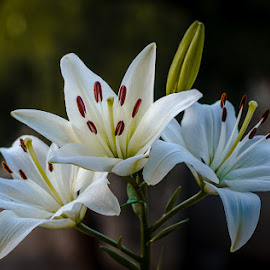 White Lilies by Gunbir Singh - Flowers Flowers in the Wild ( gunbir singh, white flower, nature, lily, bunch of flower, white, nikon, buds, closeup, three flowers )