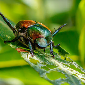 by Allen Wesley - Animals Insects & Spiders ( animals, bugs, nature close up, insects, beetles,  )