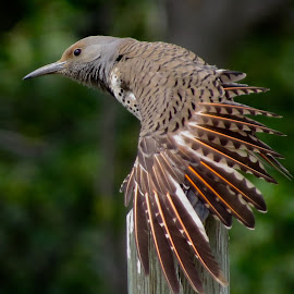 Northern Flicker by Nick Swan - Animals Birds ( bird, nature, redshafted, northern flicker, wildlife, woodpecker )