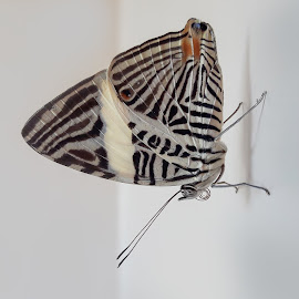Colobura dirce by Rui Santos - Instagram & Mobile Android ( brazil, colobura dirce, mobile, smart phone, smart, flower, amazon, amazônia, samsung, pará, butterfly, flor, borboleta )