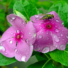 Nayantara by Asif Bora - Flowers Flower Gardens (  )