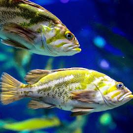 Fishes by Sujit Shanshanwal - Animals Fish ( marine, aquatic, fish, aquarium, fishes, couple )