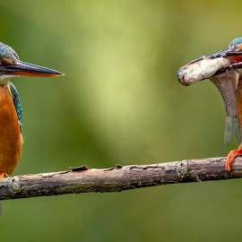 Alcedo atthis by Helmut Gloor - Animals Birds ( eisvogel, fish, bird, kingfisher, alcedo atthis, wildlife, canon )
