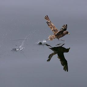 Run Run! by Capt Jack - Animals Birds ( #flight #fly #run #flap #takeoff, Bird in flight, bif, reflection, reflections, mirror )