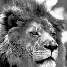 Male African lion face close up by Jackie Nix - Animals Lions, Tigers & Big Cats ( wild animal, king of the jungle, lion, cat, monochrome, panthera leo, tongue, black and white, roar, mane, mouth, king of the beasts, male, teeth, yawn, mammal, predator, carnivore, big cats, nature, african lion, feline, africa, animal )