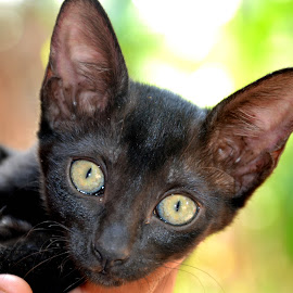 backi by Manoj Fasiludeen - Animals - Cats Kittens ( wild, cat, cute, black, eyes )