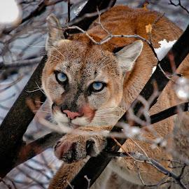 Looking at you by Tom Becker - Animals Lions, Tigers & Big Cats ( big cat, predator, cougar, felix, puma,  )