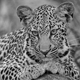 Leopard Cub! by Anthony Goldman - Black & White Animals ( 9 months, cub, leopard, predator, south africa, londolozi, big cat, wild,  )