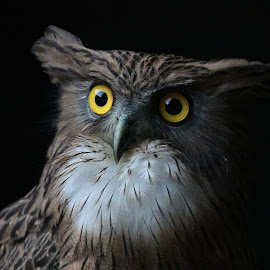 Brown Fish Owl by Biswarup Mandal - Animals Birds ( owl, bird photography, bird, brown, portrait, look,  )