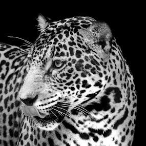 by Judy Rosanno - Black & White Animals ( august 2017, san antonio zoo,  )