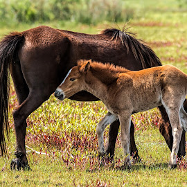 Close To Mom by Roy Walter - Animals Horses ( animals, horses, colt, wildlife, outerbanks, corolla, mammal, north carolina )
