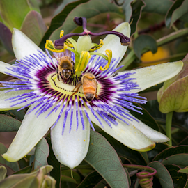 Passionate Bees and Ants by Gary Beresford - Animals Insects & Spiders ( macro, bee, ant, flower, passionfruit )