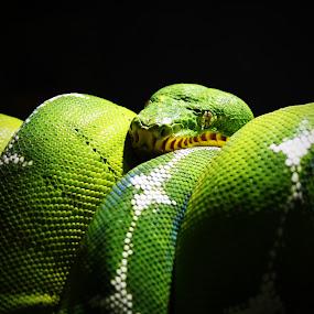Emerald Tree Boa by John Ireland - Animals Other