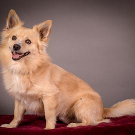 by Myra Brizendine Wilson - Animals - Dogs Portraits ( canine, dogs, foster sergio, pet, pets, sergio, gcspca, dog, gcspca foster, greater charlotte spca, foster dog sergio )