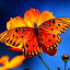 Royal Monarch butterfly and cosmos by Ivy Luna - Animals Insects & Spiders ( , blue, orange. color, colorful, mood factory, vibrant, happiness, January, moods, emotions, inspiration )