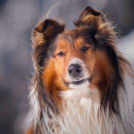 Windy by Blaž Ocvirk - Animals - Dogs Portraits