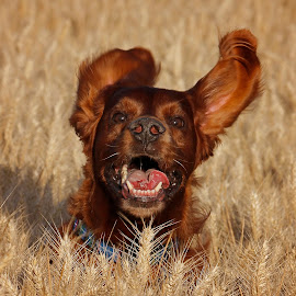 Happy Time by Ken Jarvis - Animals - Dogs Running ( irish setter, dog portrait, fun, irish, happy dog, dog )