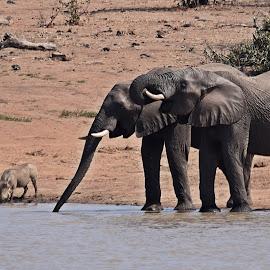Drinking together by Hennie Wolmarans - Animals Other Mammals ( asniomals, thirsty, kruger park, nature, elephants, warthogs, wildlife,  )