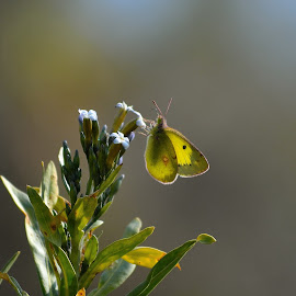 clouded yellow butterfly by Abdul Haseeb - Digital Art Animals