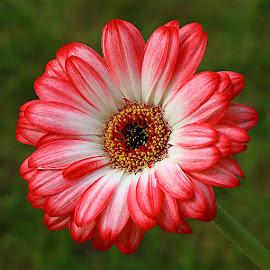Beautiful Flower by Chrissie Barrow - Flowers Single Flower ( stigma, red, single, stamens, petals, germini, green, white, yellow, bokeh, black, flower )