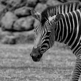 Zebra by Kellee Wright - Black & White Animals ( black and white, zebra, stripes, mammal, animal,  )