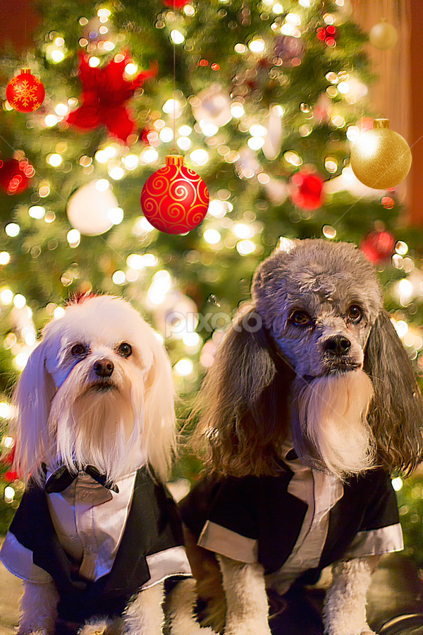Paco & Bear 2012 by Bill Tiepelman - Animals - Dogs Portraits