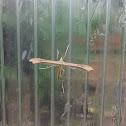 Plume moth / Пальцекрылка
