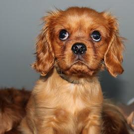 Puppy love by Camilla Uddgren - Animals - Dogs Puppies ( doggie, dog portrait, puppie, puppy, dog )