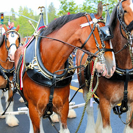 Budweiser clydesdales by Robert Thompson - Animals Horses