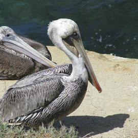 Pelican by Nicola Dowdall - Animals Birds