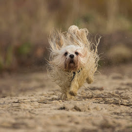 sand dog by Anja Voorn - Animals - Dogs Running