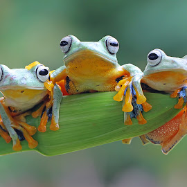 Best Friend by Kurit Afsheen - Animals Amphibians ( animals, macro photography, tree frog, three, amphibian, toad, frogs, amphibians, animal )