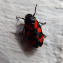 Black-and-red froghopper