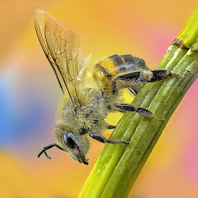Bee by Rui Santos - Animals Insects & Spiders ( bee, insect, health, honey, amazon, brazil, macro, abaetetuba, inseto, raynox, bugs, saúde, fuji, mel, pará, bug, best,  )