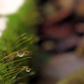 dew drops.. by Arjun Vjy - Nature Up Close Leaves & Grasses ( arjun, nature, grass, dew, drops, kerala, india, leaves )