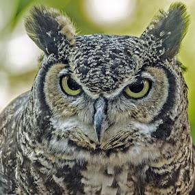 OwlPortrait by Joanne Burke - Animals Birds