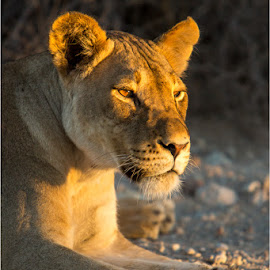 Lioness Golden Hour by Brendon Muller - Animals Lions, Tigers & Big Cats ( lioness, photosbybrendon, wildlife, africa, kgalagadi )