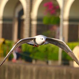 Tern in flight by Jair Dsouza - Animals Birds ( colaba )