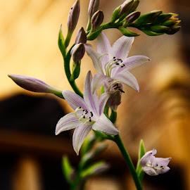 Hosta by Jennifer  Loper  - Flowers Flower Gardens ( blooms, flowers, hosta, wooden railing, green stem, buds, lavender )