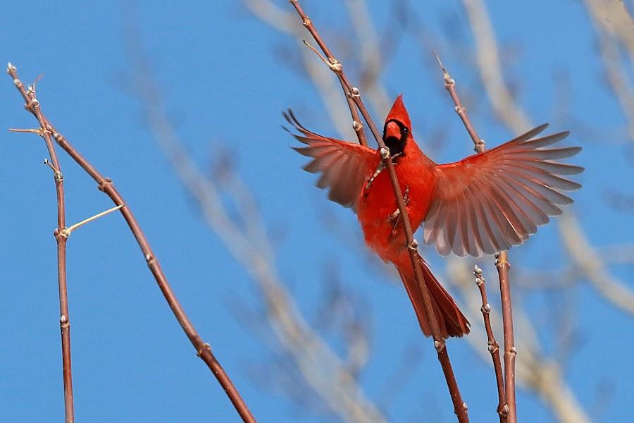 Northern Cardinal by Michel Lapensée - Animals Birds ( bird, cardinal, birds, animal )