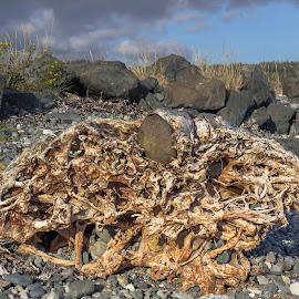 Rock'n'roots by Drake Dyck - Nature Up Close Trees & Bushes ( grasses, driftwood, roots, beach, rocks )