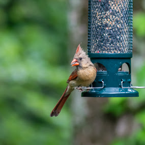 Snacking Cardinal by Sandy Hogan - Animals Birds ( cardinal, bird photograpy, bird feeder, bird photos, birding,  )