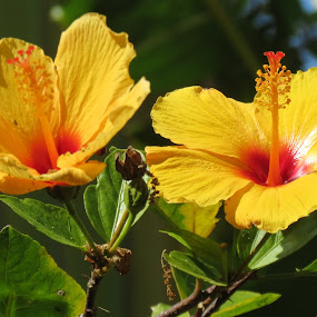 Hibiscus Bush Blossoms by Rita Goebert - Flowers Flowers in the Wild ( hibiscus; florida botanical gardens; pinellas park; florida; yellow blossoms; 5 petals; bush;,  )