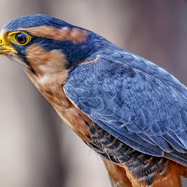 Falcon by Carol Plummer - Animals Birds