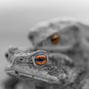 Toads making love - Color splash by Sami Rahkonen - Animals Amphibians ( wild, animals, fauna, wildlife, forest, bokeh, spring, close-up, eyes, love, macro, wilderness, nature, color, color splash, making love, summer, mating, eye, animal )