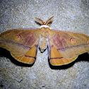 Helena Gum Moth - male