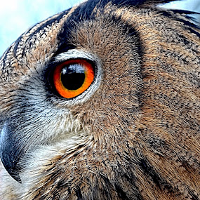 eurasian eagle owl by Becky Wheller - Animals Birds ( bird, eagle, owl, eyes, animal )