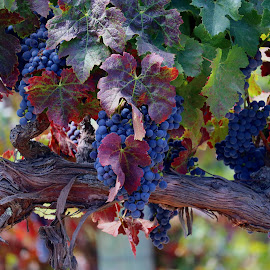 Fall in Napa California wine country by Robin Rawlings Wechsler - Food & Drink Fruits & Vegetables ( vineyard, harvest, fall, leaves, vines, wine, food, grapes,  )