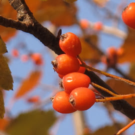 by Bozidarka Scerbe Haupt - Nature Up Close Trees & Bushes ( orange, sky, tree, autumn, berries )