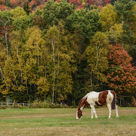 Out to Pasture by Robert Coffey - Animals Horses ( fence, pasture, grazing, autumn, horse, trees )
